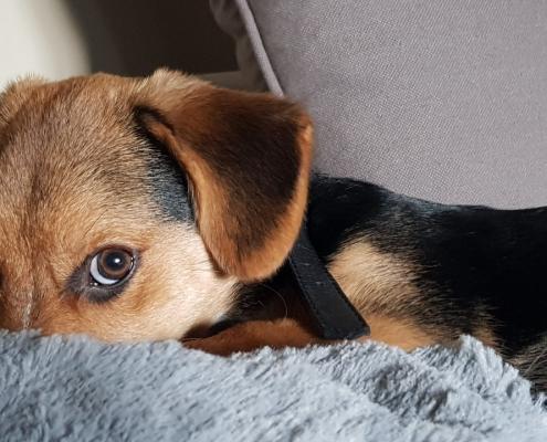 kutya hasfájás