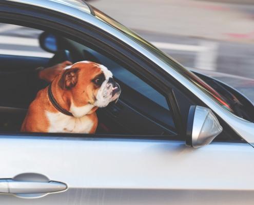szorongó kutya, urbánus körülmények