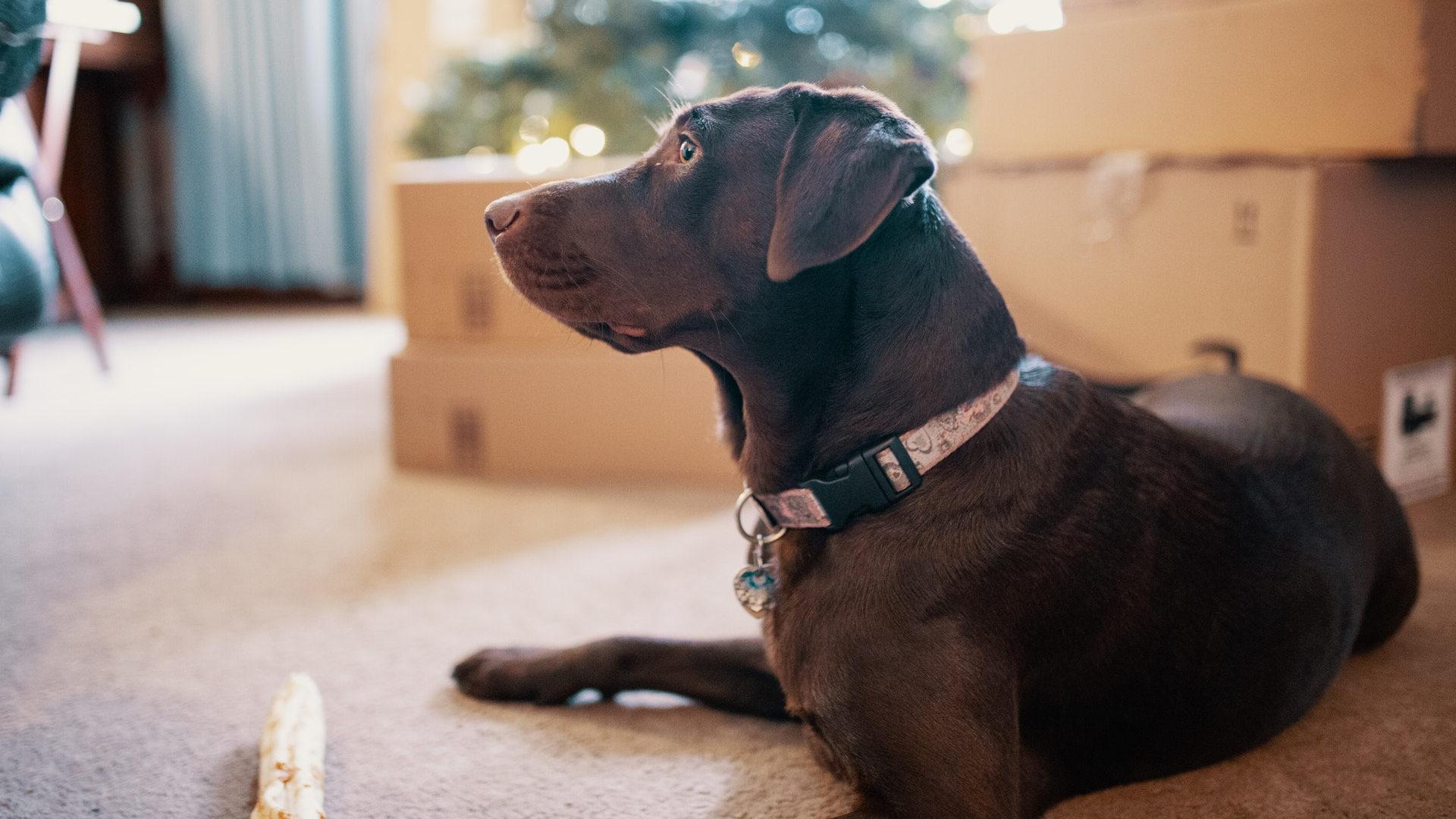 kutya ízületi betegség, diszplázia